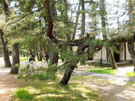 天橋立公園・松の木