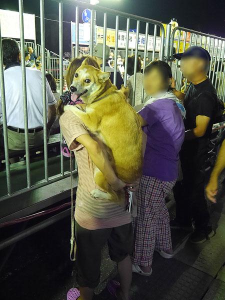 徳島県三好市,いけだ阿波踊り,阿波踊り,観覧する,おんぶ犬,